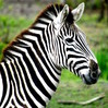 Twitter Take: Outrun Your Competitors Online Like The Zebra